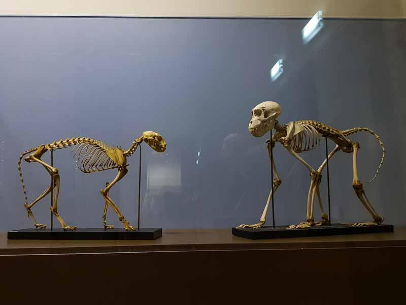 Esqueletos de monos