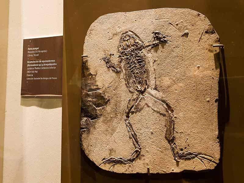 Fósil de rana pueyoi. Mioceno